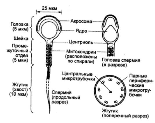 pochemu-organizm-ne-virabativaet-spermatozoidi
