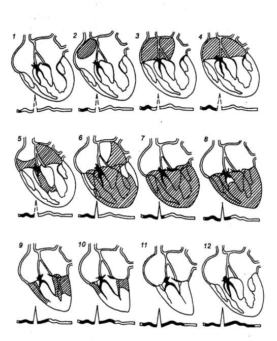Вверху – диафрагмы сердца